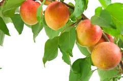 Aprikosen mit Blättern auf einem weißen Hintergrund Stockbild