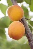Aprikosen reifen auf dem Baum Stockfotografie