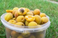 Aprikosen werden in einem Eimer gesammelt Stockfotos
