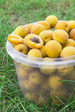 Aprikosen werden in einem Eimer gesammelt Stockfotografie