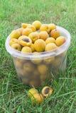 Aprikosen werden in einem Eimer gesammelt Lizenzfreies Stockfoto
