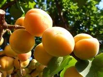 Aprikosenbaum Stockfotos