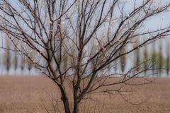 Aprikosenbaum fängt an, auf einem unscharfen Hintergrund mit einem gepflogenen Feld und einigen Pappeln zu blühen stockbild