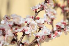 Aprikosenbaum-Frühlingsblüte Stockfotos