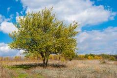 Aprikosenbaum gegen blauen bewölkten Himmel an der herbstlichen Jahreszeit stockfoto