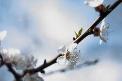 Aprikosenbaum mit den Blumenknospen und -blumen, die im Frühjahr, Weinleseretro- Blumenhintergrund mit Sonne blühen, strahlt aus  Stockfoto