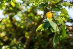 Aprikosenbaum mit Früchten Stockfotografie