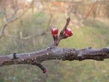 Aprikosenbaum Prunus armeniaca in der Knospe Lizenzfreies Stockbild
