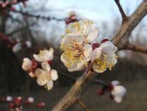 Aprikosenbaum Prunus armeniaca in der Knospe Stockbilder