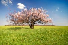 Aprikosenbaum, Tag Lizenzfreie Stockfotos