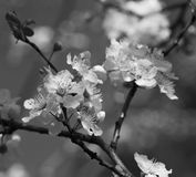 Aprikosenbaumast mit Blumen auf dunkelgrünem natürlichem backgroun Lizenzfreie Stockbilder