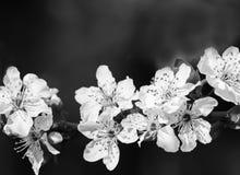 Aprikosenbaumast mit Blumen im Vorfrühling Lizenzfreie Stockfotografie