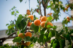 Aprikosenbaumaste Lizenzfreies Stockfoto