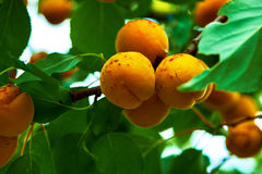 Aprikosenbaumbündel Stockfotografie