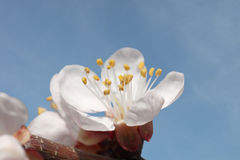 Aprikosenbaumblüte Stockfoto