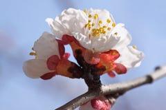 Aprikosenbaumblüte Lizenzfreie Stockfotos