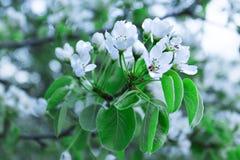 Aprikosenbaumblüte Stockfotografie
