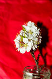 Aprikosenbaumblüte Lizenzfreie Stockfotografie