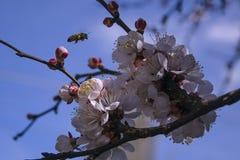 Aprikosenbaumblumen Arbeitsmenschbiene Blühender Baum stockfotos