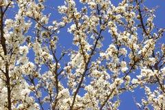 Aprikosenblühen Stockfoto