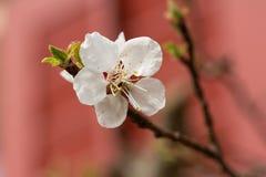 Aprikosenblühen Lizenzfreies Stockbild