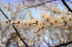 Aprikosenblüte Lizenzfreies Stockbild
