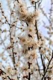 Aprikosenblüte Stockfotos