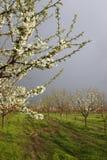 Aprikosenblüte lizenzfreie stockfotografie