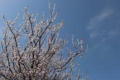 Aprikosenblüte Lizenzfreie Stockfotos