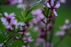 Aprikosenblüte, weiße Blumen, russischer Frühling, schöner Hintergrund lizenzfreie stockbilder