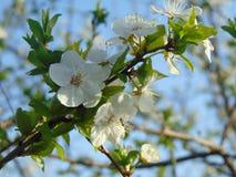 Aprikosenblütenstand Lizenzfreie Stockfotos