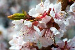 Aprikosenbl?te wei?-rosa Blumen auf einem blo?en Baum der Stille vollst?ndig stockfotos