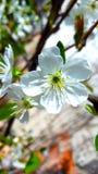 Aprikosenblume lizenzfreie stockfotos