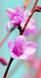 Aprikosenblume Stockfoto