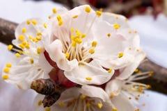 Aprikosenblume im Frühjahr lizenzfreie stockfotografie