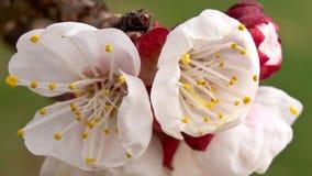 Aprikosenblume im Frühjahr lizenzfreies stockfoto
