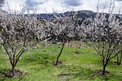 Aprikosenblumen Lizenzfreies Stockfoto