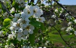 Aprikosenblumen Lizenzfreie Stockfotos