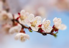 Aprikosenblumen auf einer Niederlassung gegen den Himmel stockbilder