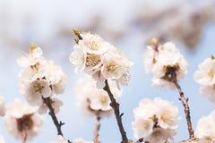 Aprikosenblumen auf einer Niederlassung gegen den Himmel lizenzfreie stockfotografie