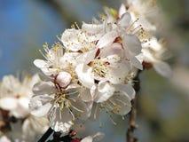 Aprikosenblumen auf unscharfem Hintergrund Stockfoto