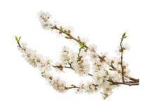Aprikosenblumen auf Weiß ohne Schatten Lizenzfreie Stockfotografie