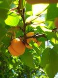 Aprikosenfrüchte Lizenzfreie Stockbilder