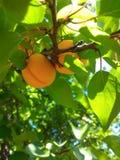 Aprikosenfrüchte Lizenzfreies Stockbild