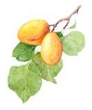 Aprikosenfruchtniederlassung, Aquarellillustration Vektor Abbildung