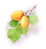 Aprikosenfruchtniederlassung, Aquarellillustration Stock Abbildung