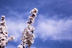 Aprikosenniederlassungen blühen mit rosa Blumen gegen den blauen Himmel lizenzfreie stockfotografie