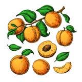 Aprikosenvektor-Zeichnungssatz Übergeben Sie gezogene Frucht, Niederlassung und geschnittene Stücke Stockbilder