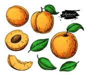 Aprikosenvektor-Zeichnungssatz Hand gezeichnete Frucht und geschnittene Stücke Sommerlebensmittelillustration Stockbild