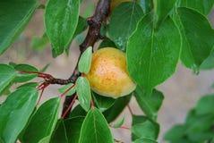 Aprikosenzweig Stockbild